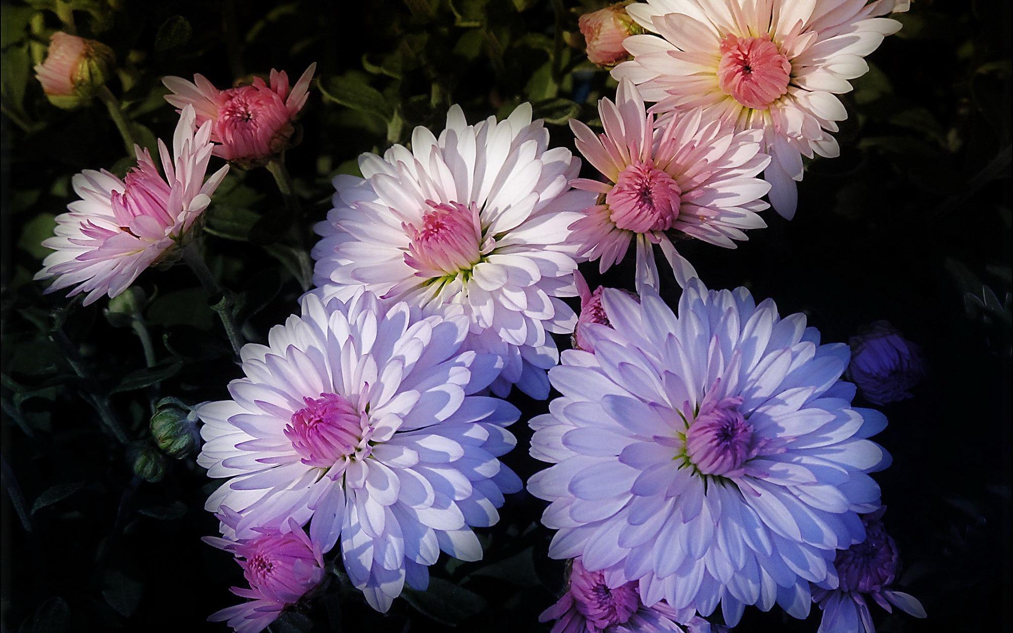 Обои на рабочий стол Цветы хризантемы   подборка (29)