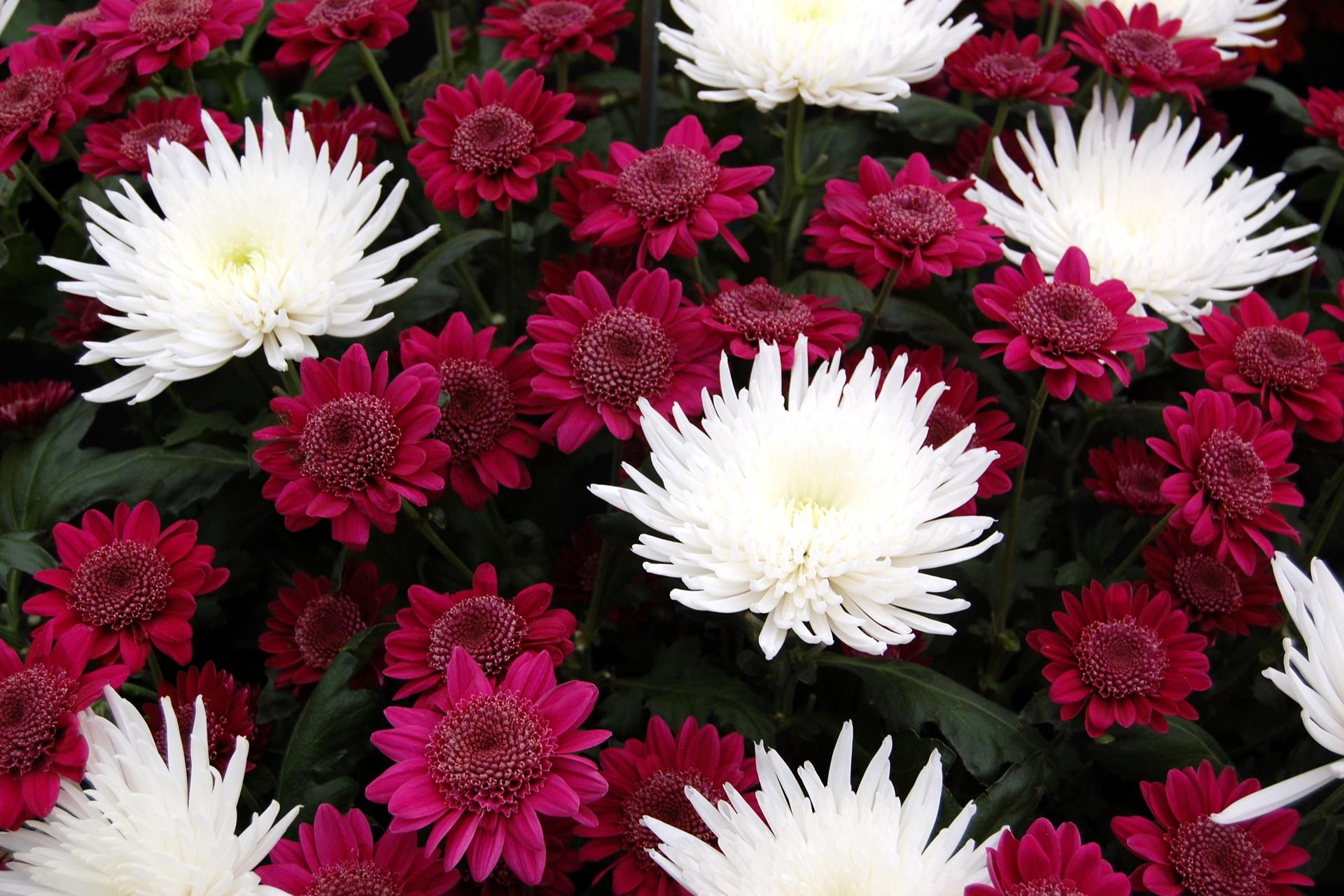 Обои на рабочий стол Цветы хризантемы   подборка (3)