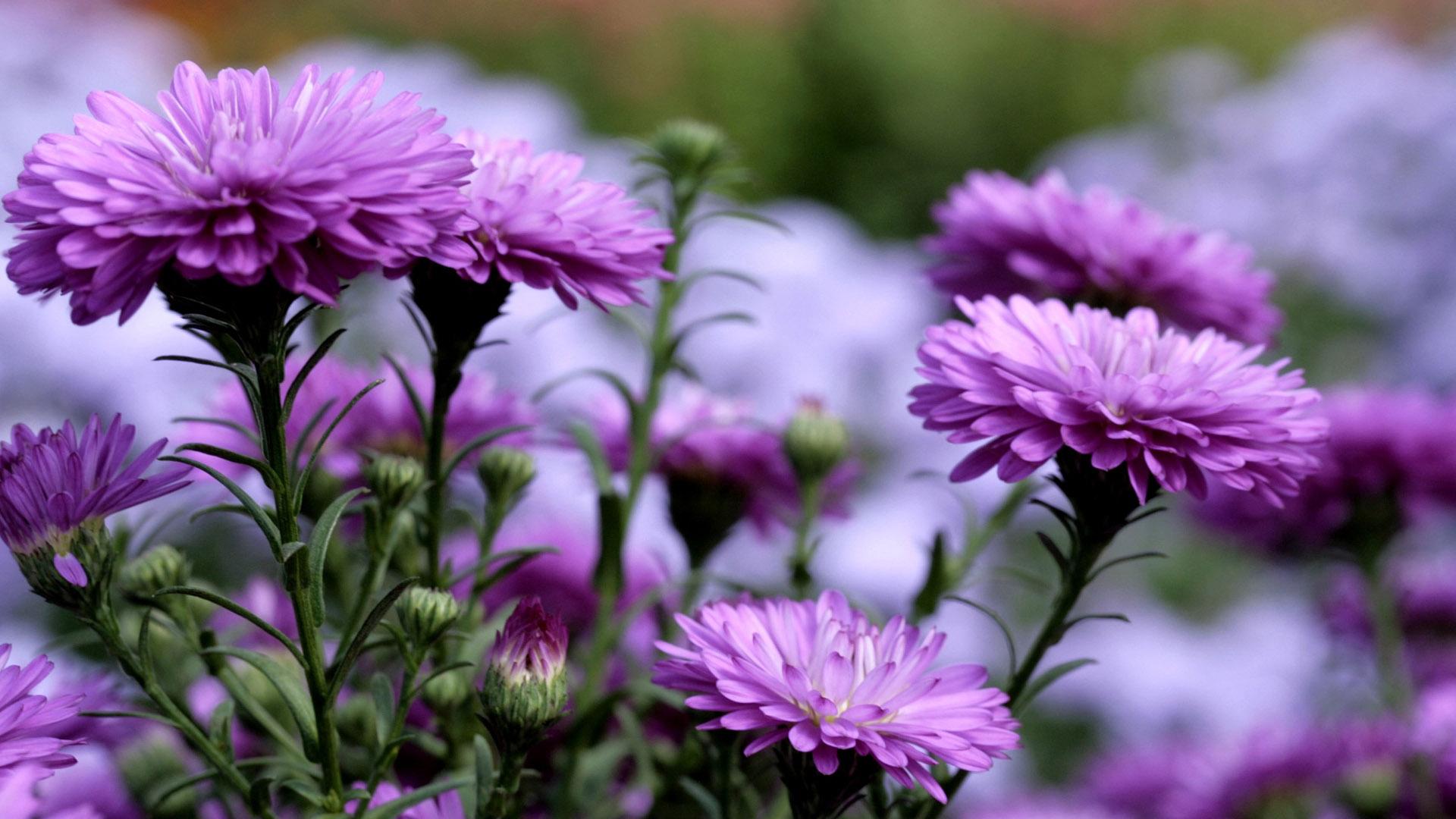 Обои на рабочий стол Цветы хризантемы   подборка (30)