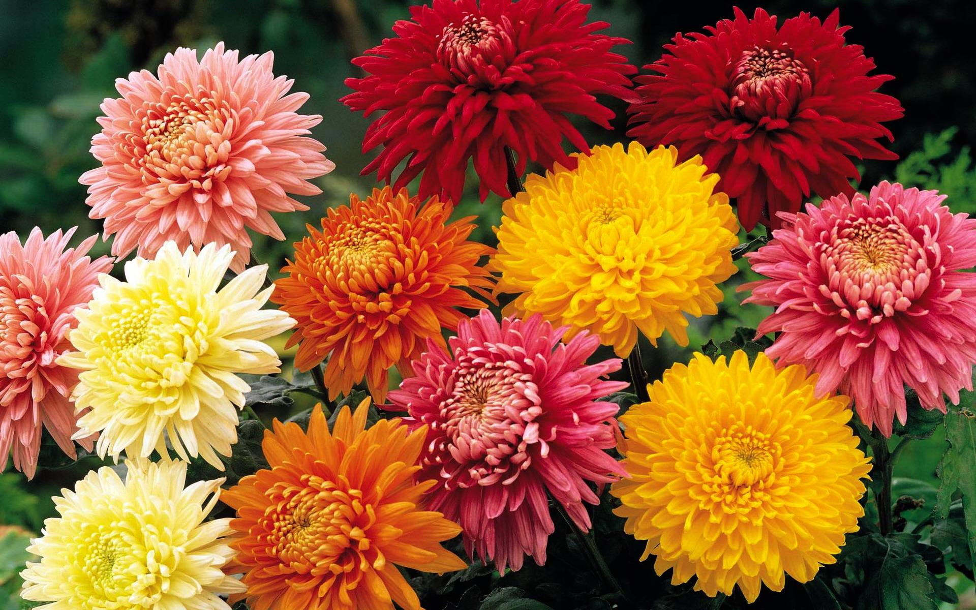 Обои на рабочий стол Цветы хризантемы   подборка (4)