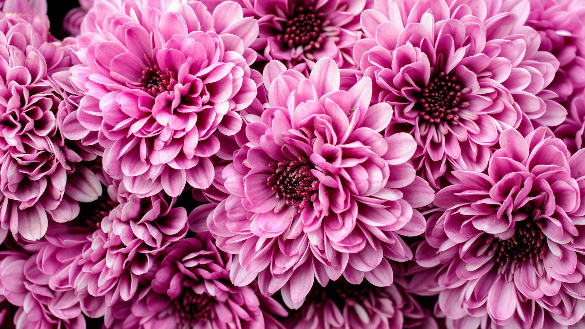 Обои на рабочий стол Цветы хризантемы   подборка (6)