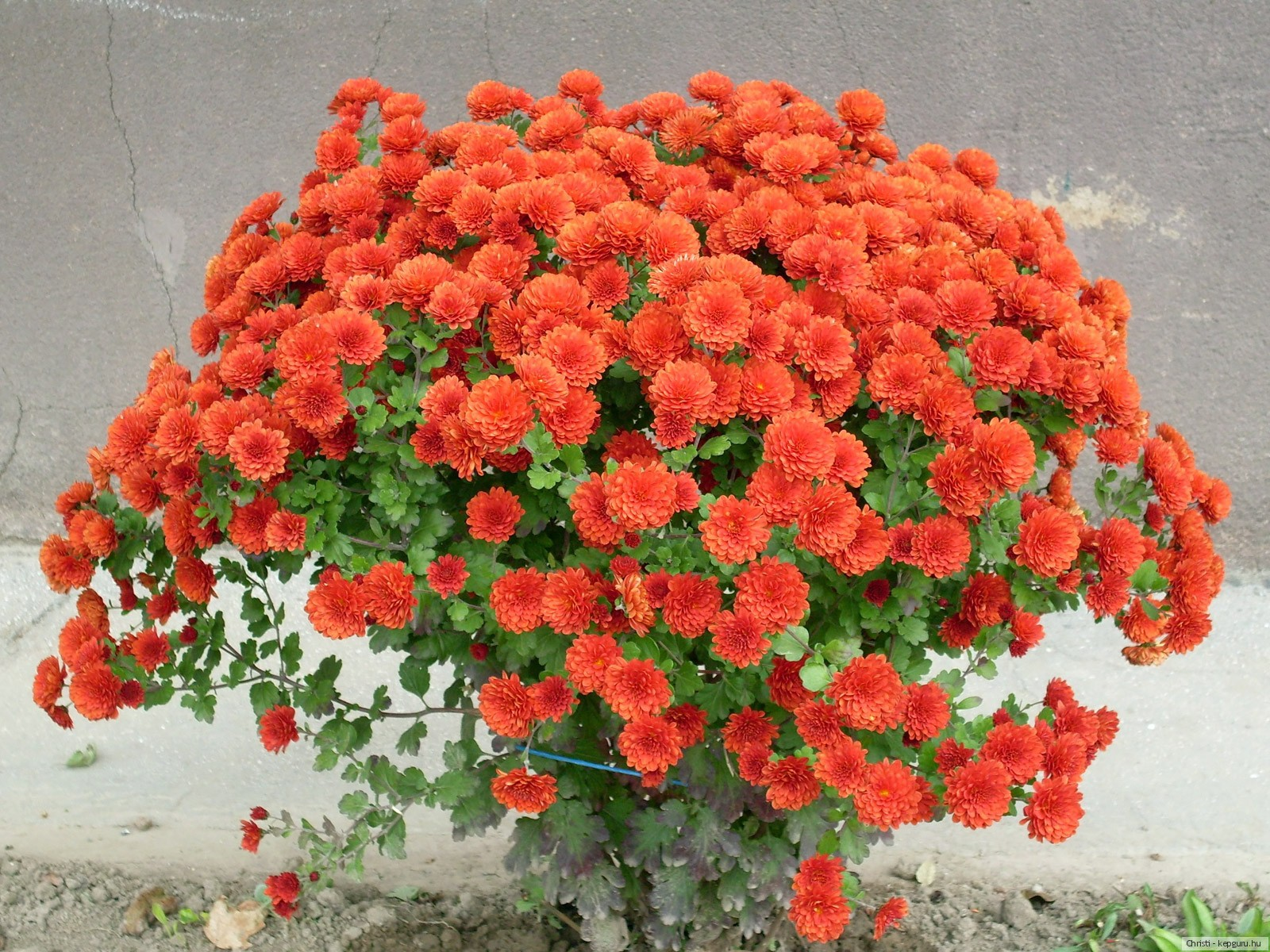 Обои на рабочий стол Цветы хризантемы   подборка (7)