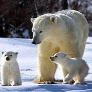 Обои на рабочий стол медведь белый016