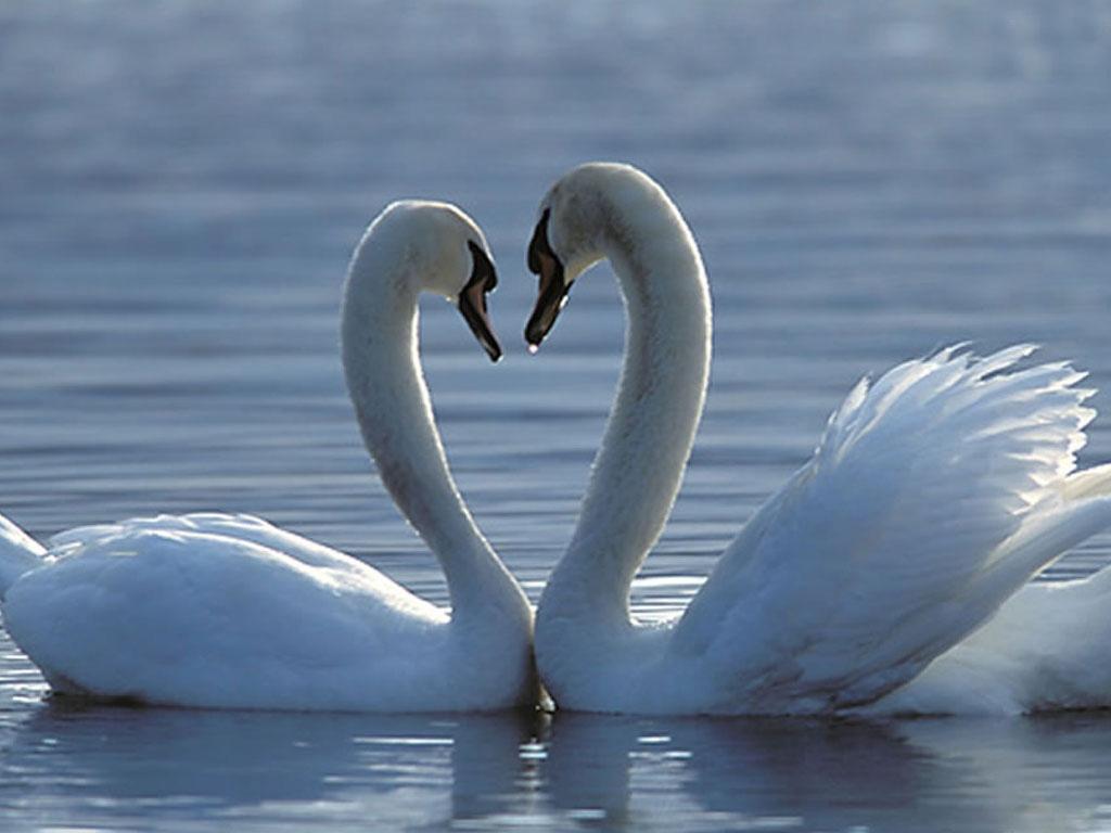 Обои на телефон с лебедями (1)