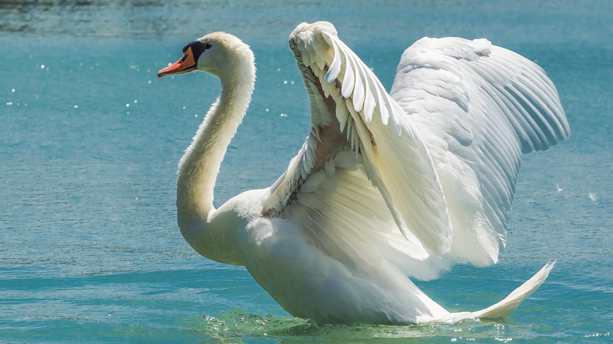 Обои на телефон с лебедями (13)