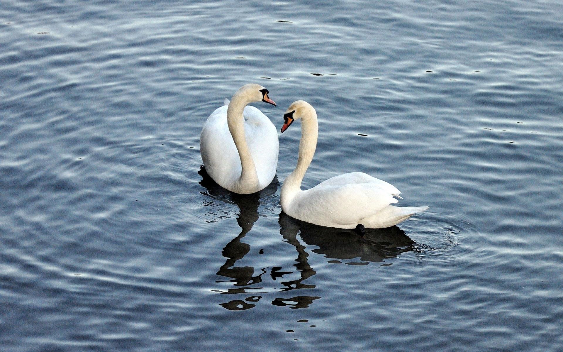 Обои на телефон с лебедями (15)