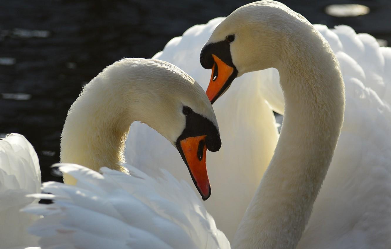 Обои на телефон с лебедями (16)