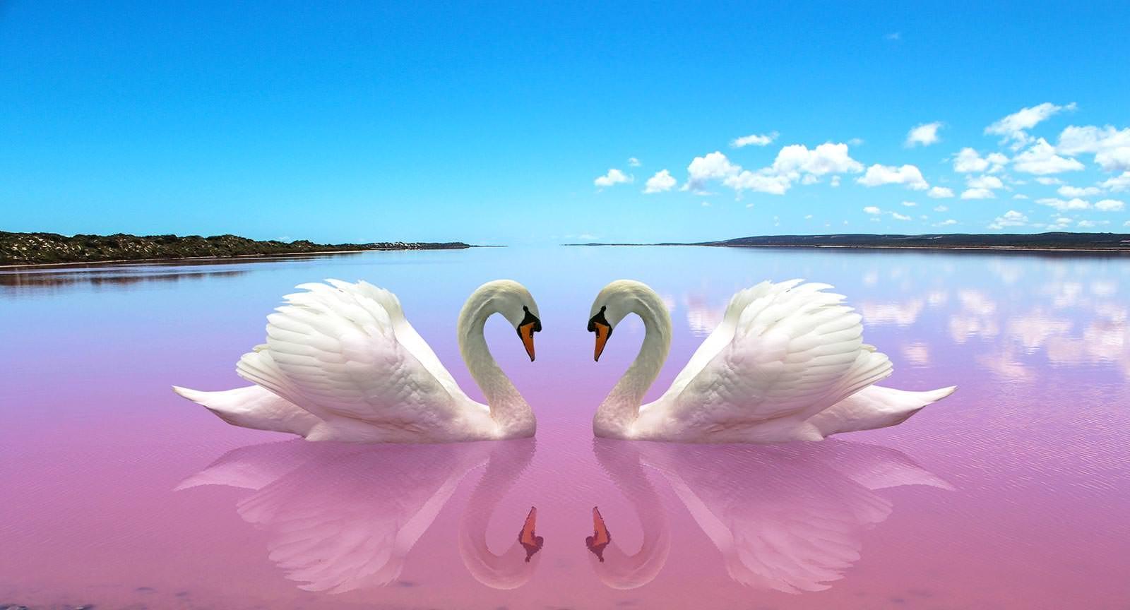 Обои на телефон с лебедями (18)