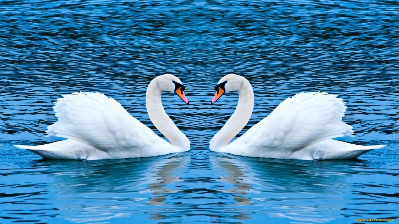 Обои на телефон с лебедями (2)