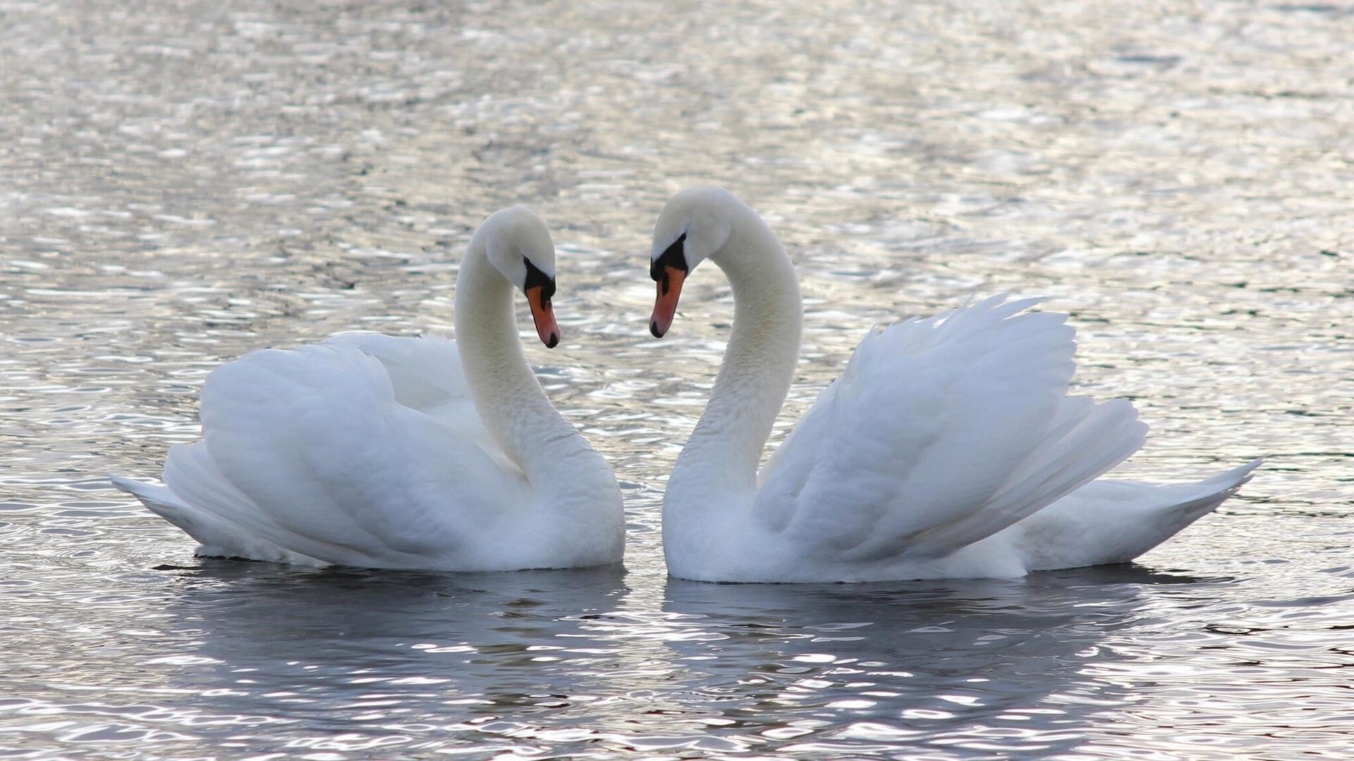 Обои на телефон с лебедями (5)