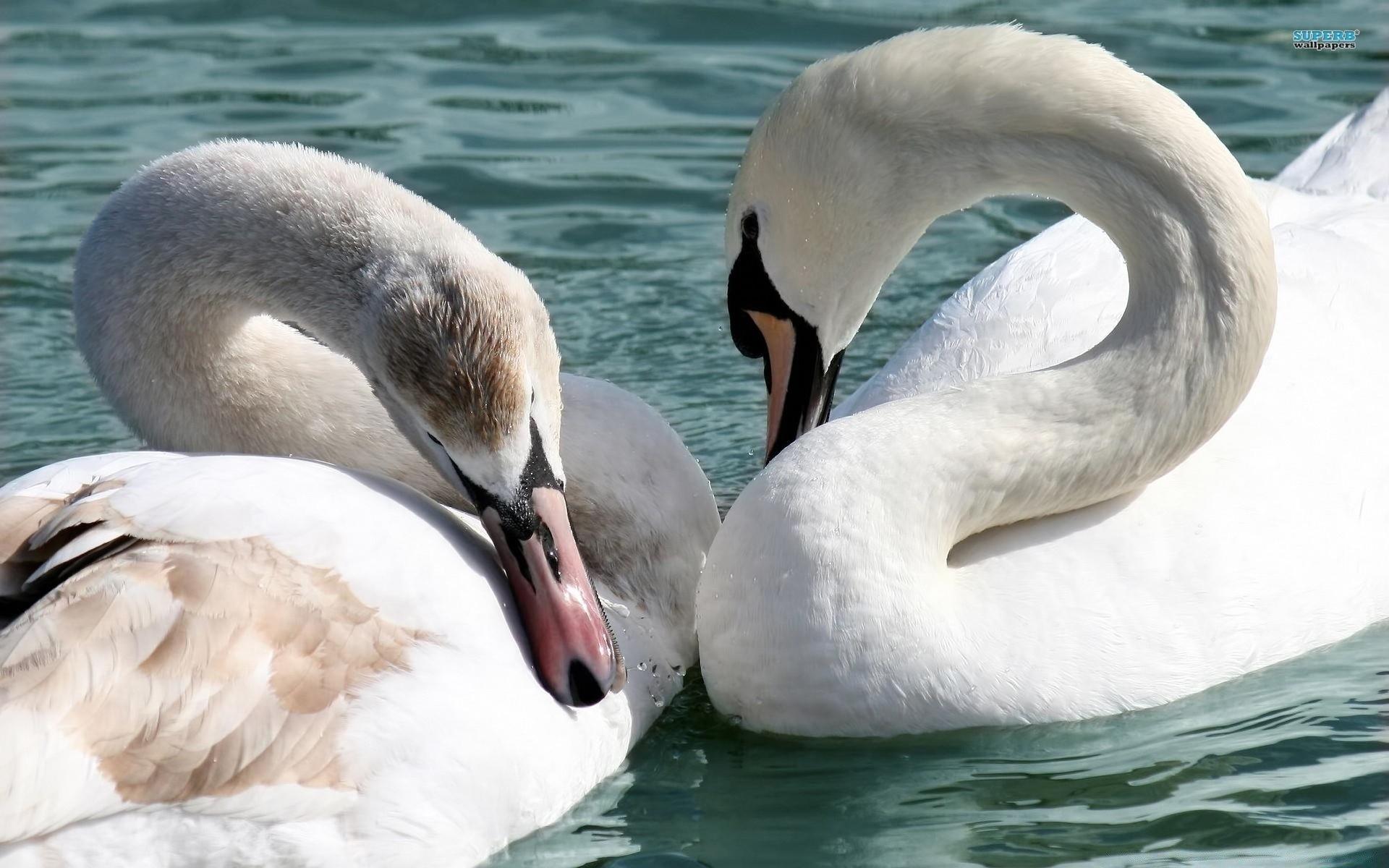 Обои на телефон с лебедями (6)