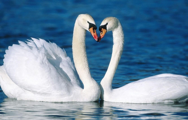 Обои на телефон с лебедями (7)