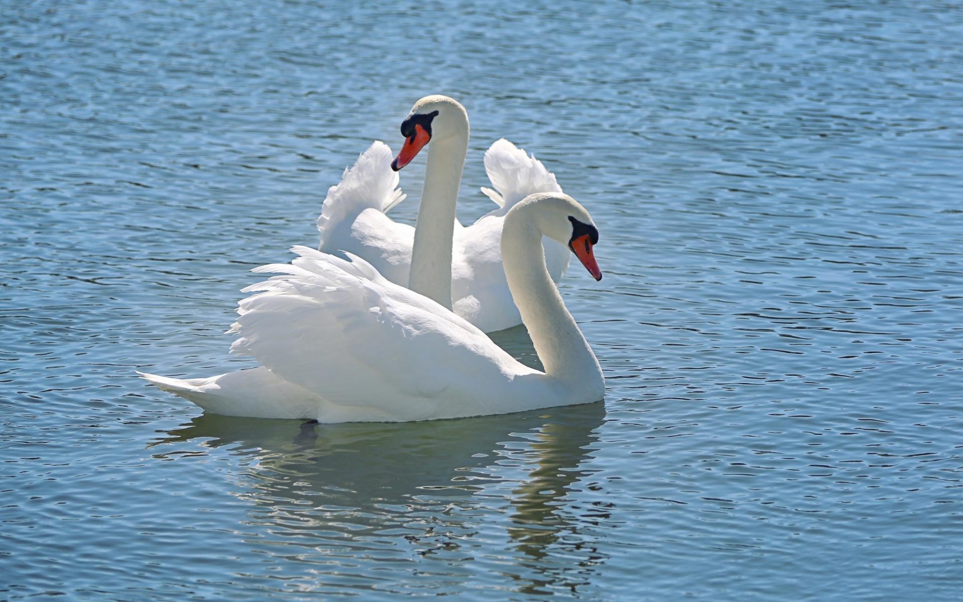 Обои на телефон с лебедями (8)