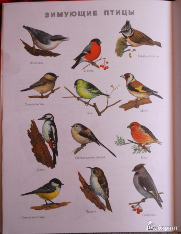 Названия маленьких птиц с картинками