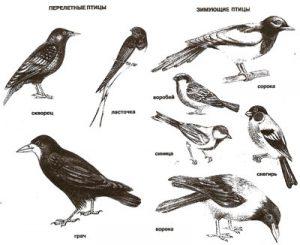 Перелетные птицы список с картинками 2 класс   сборка (21)