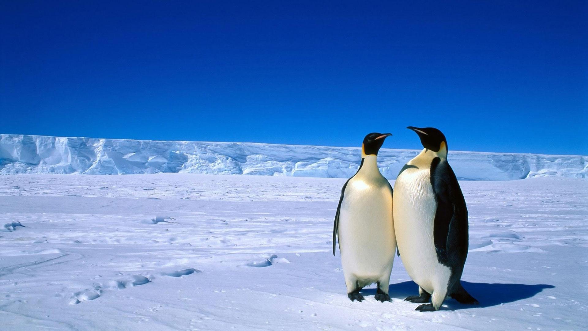Пингвины на рабочий стол обои и картинки (1)