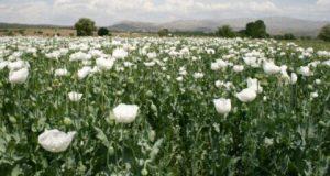 Поле белых роз картинки и фотографии 016