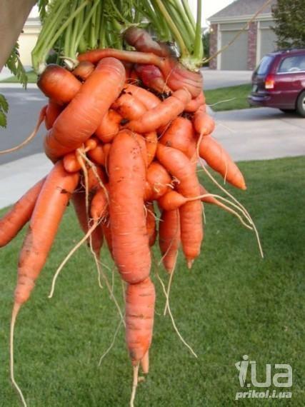 Прикольные картинки смешная морковка 024