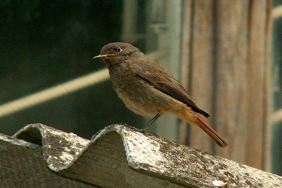 птицы курской области фото и название представляем трубки