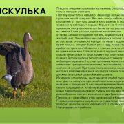 Птицы Омской области картинки и названия для детей (26)