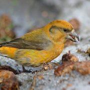 Птицы зимующие в Подмосковье фото и название029
