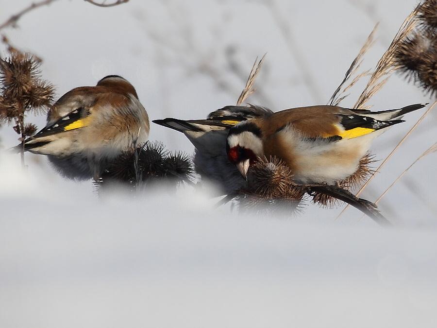 Ответы Mail.ru: Подскажите названия этих трех птиц. (ДВ ...   675x900