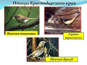 Птицы красноярского края   картинки и названия птиц (34)