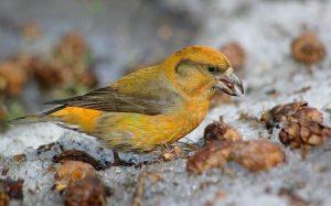 Птицы остающиеся зимовать в России   фото 023