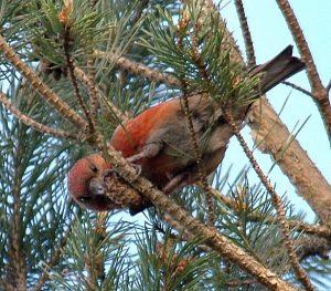 Птицы северо запада России   фото с названиями (6)