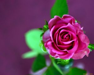 Розы красивые картинки обои   подборка (20)