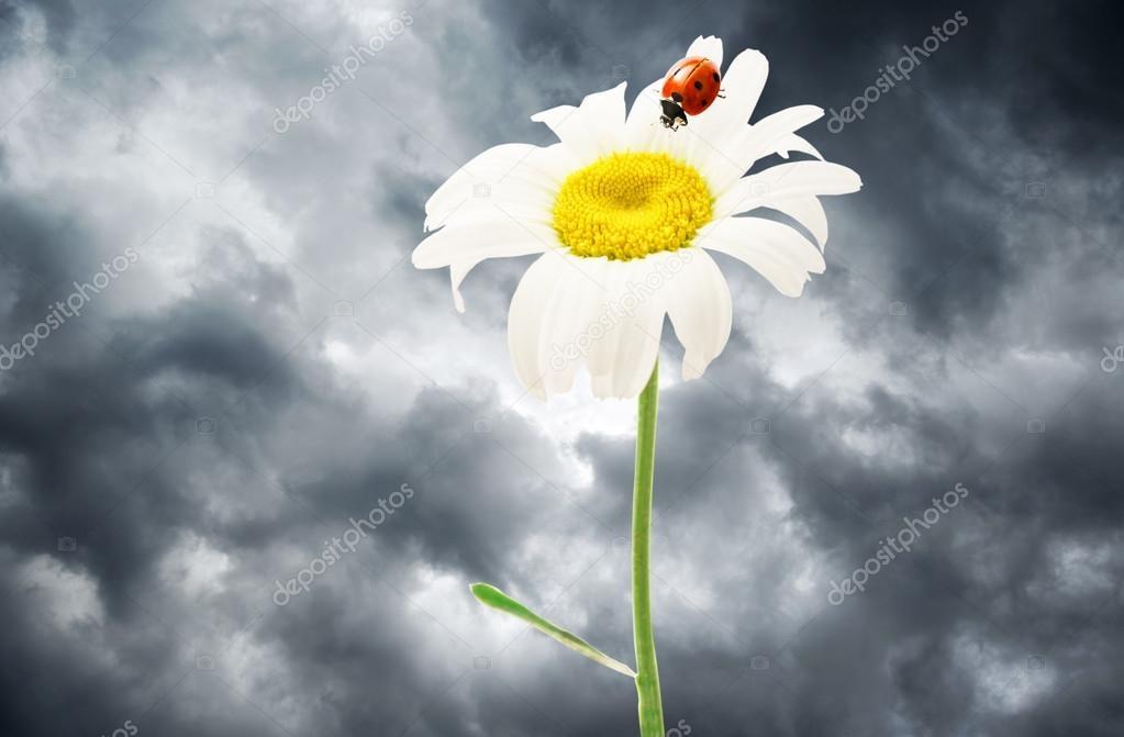 Ромашка с божьей коровкой   красивые картинки 010