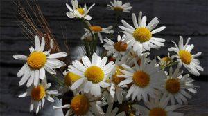 Ромашки фото в росе   подборка028