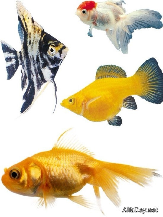 Рыбка на прозрачном фоне картинки для детей 011