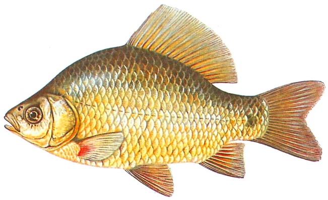 Рыбка на прозрачном фоне картинки для детей 015