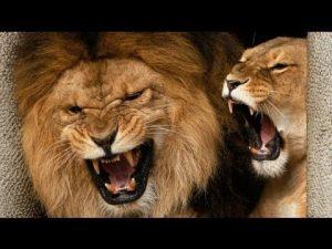 Рычит львица фото красивые 022