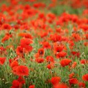 Самые красивые полевые цветы   фото028