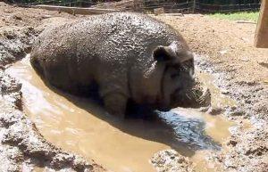 Свинья в грязи картинки и фото024