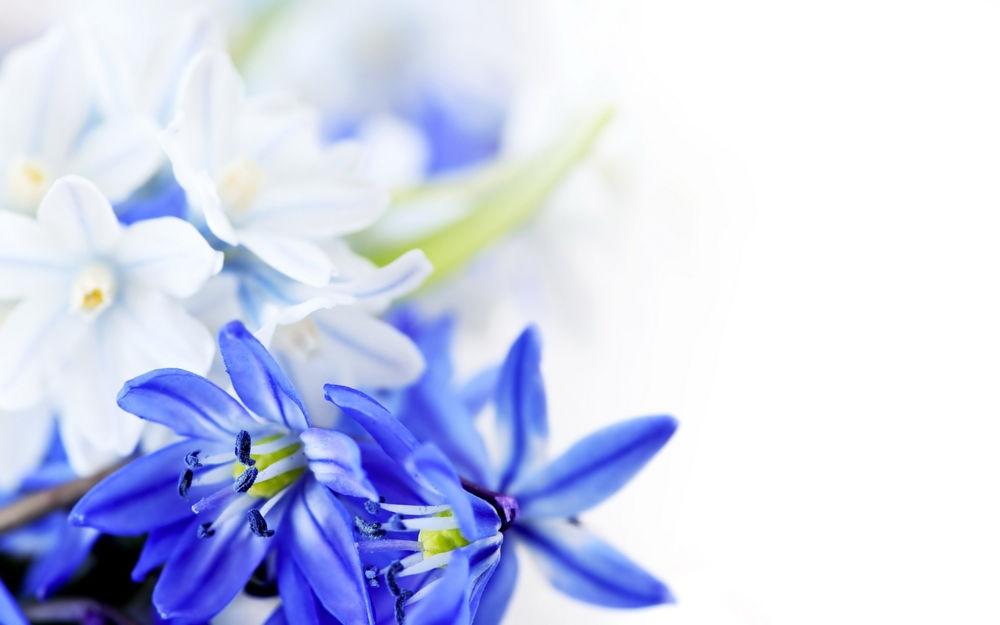 Синие цветы на белом фоне   фото 001