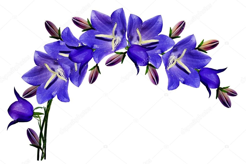 Синие цветы на белом фоне   фото 006