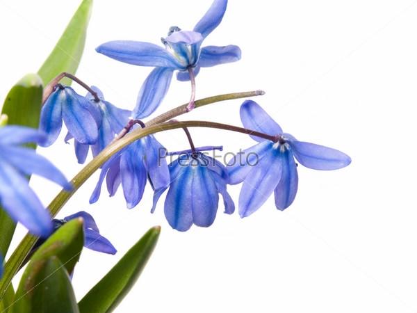 Синие цветы на белом фоне   фото 007
