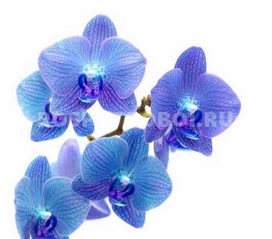 Синие цветы на белом фоне   фото 009