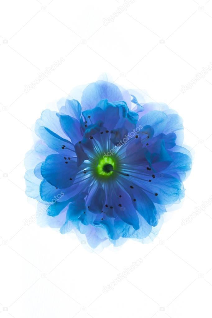 Синие цветы на белом фоне   фото 017