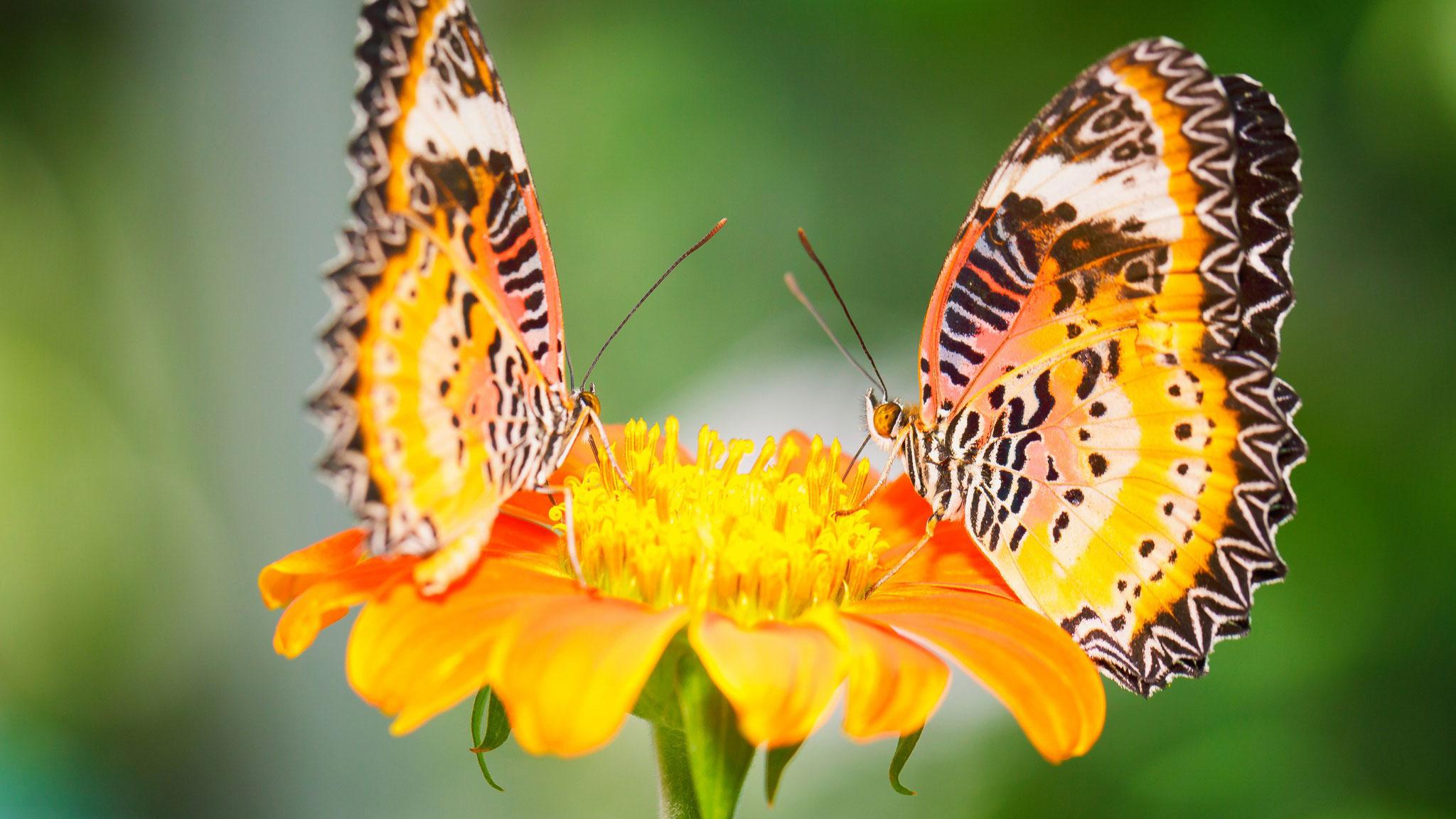 Скачать бесплатно обои бабочки на рабочий стол   подборка (1)