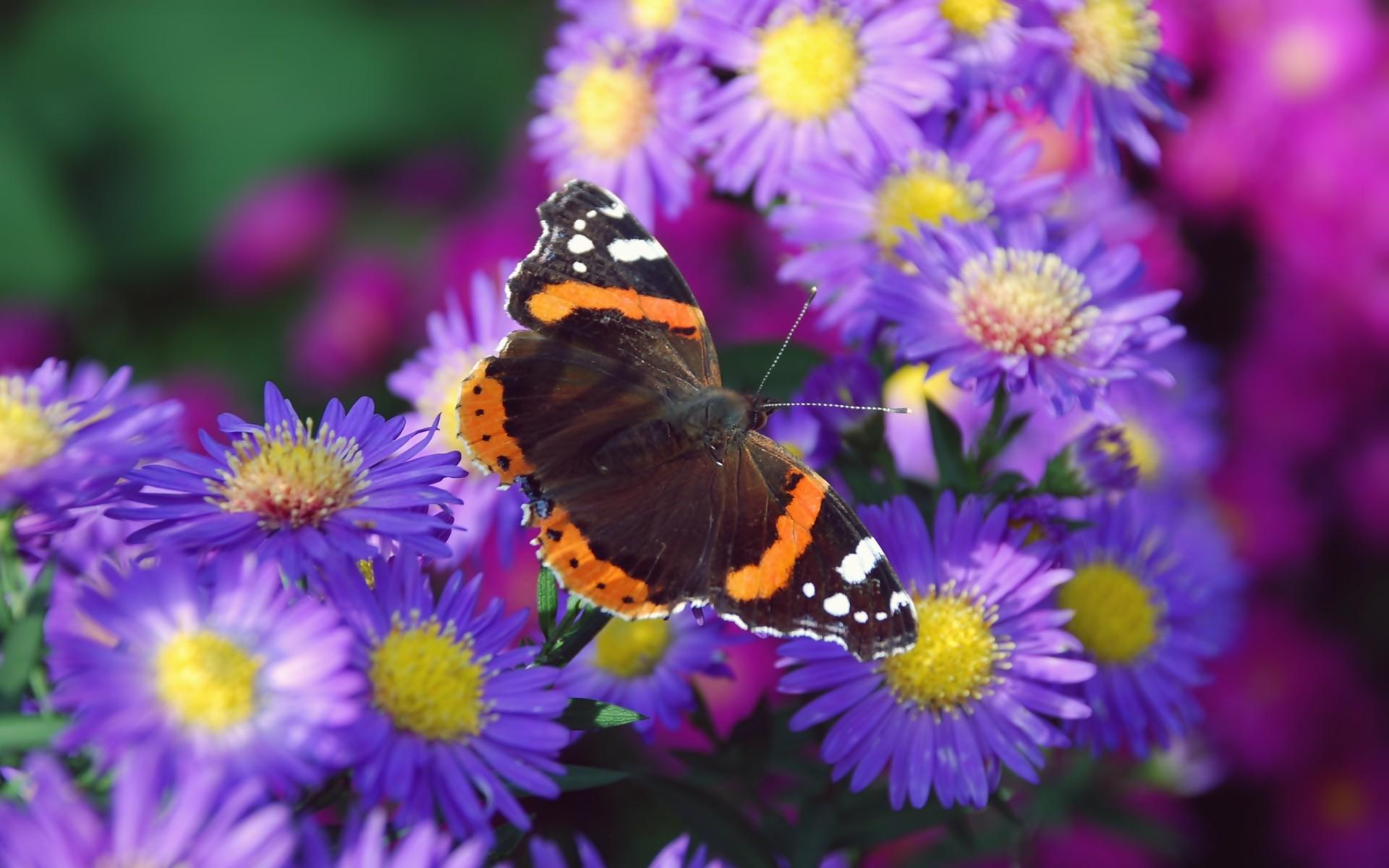 Скачать бесплатно обои бабочки на рабочий стол   подборка (14)