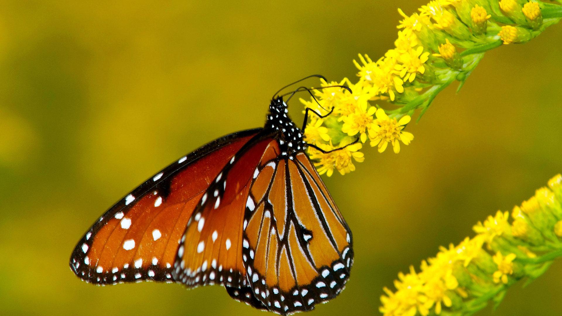 Скачать бесплатно обои бабочки на рабочий стол   подборка (19)
