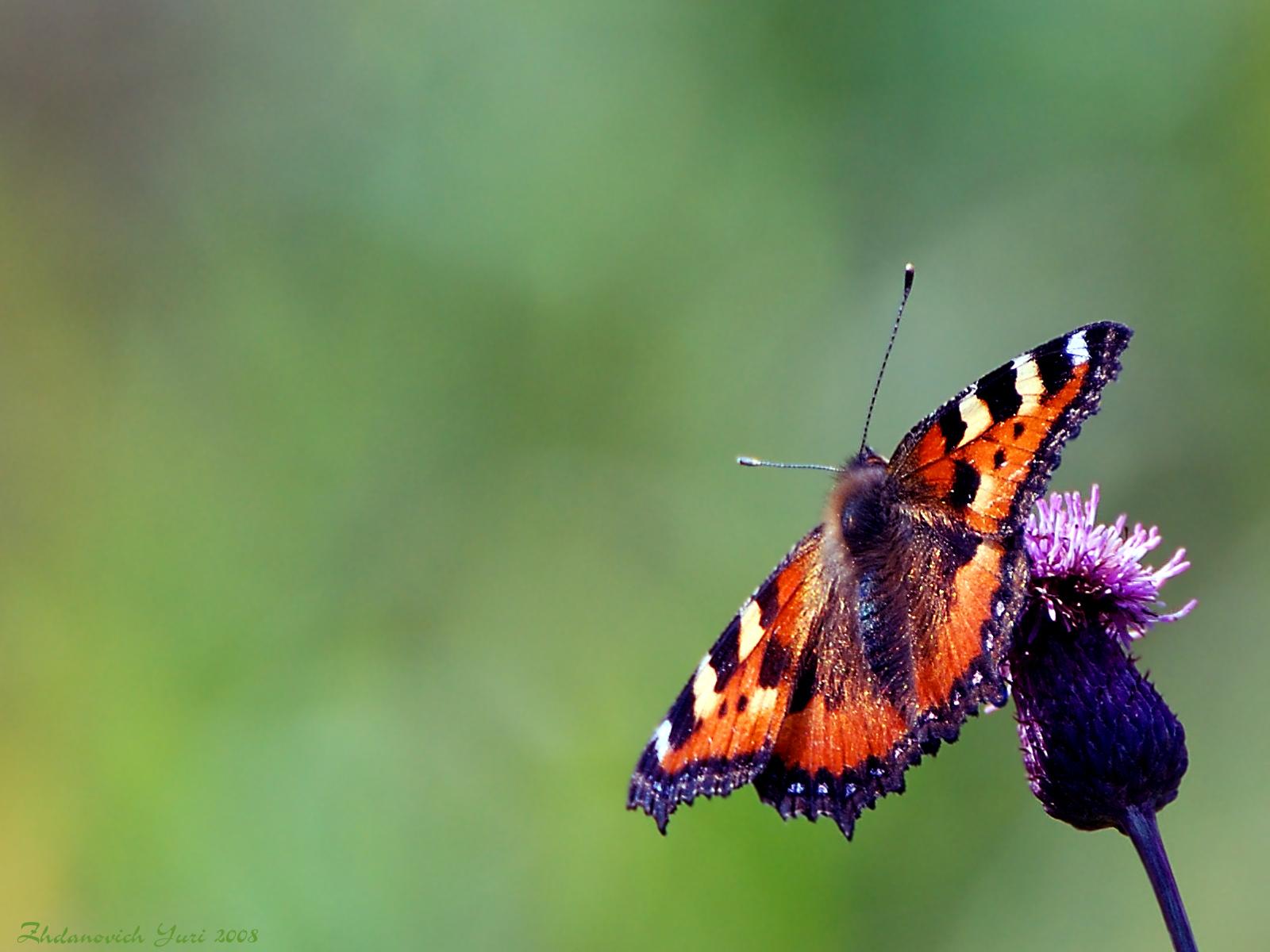Скачать бесплатно обои бабочки на рабочий стол   подборка (20)