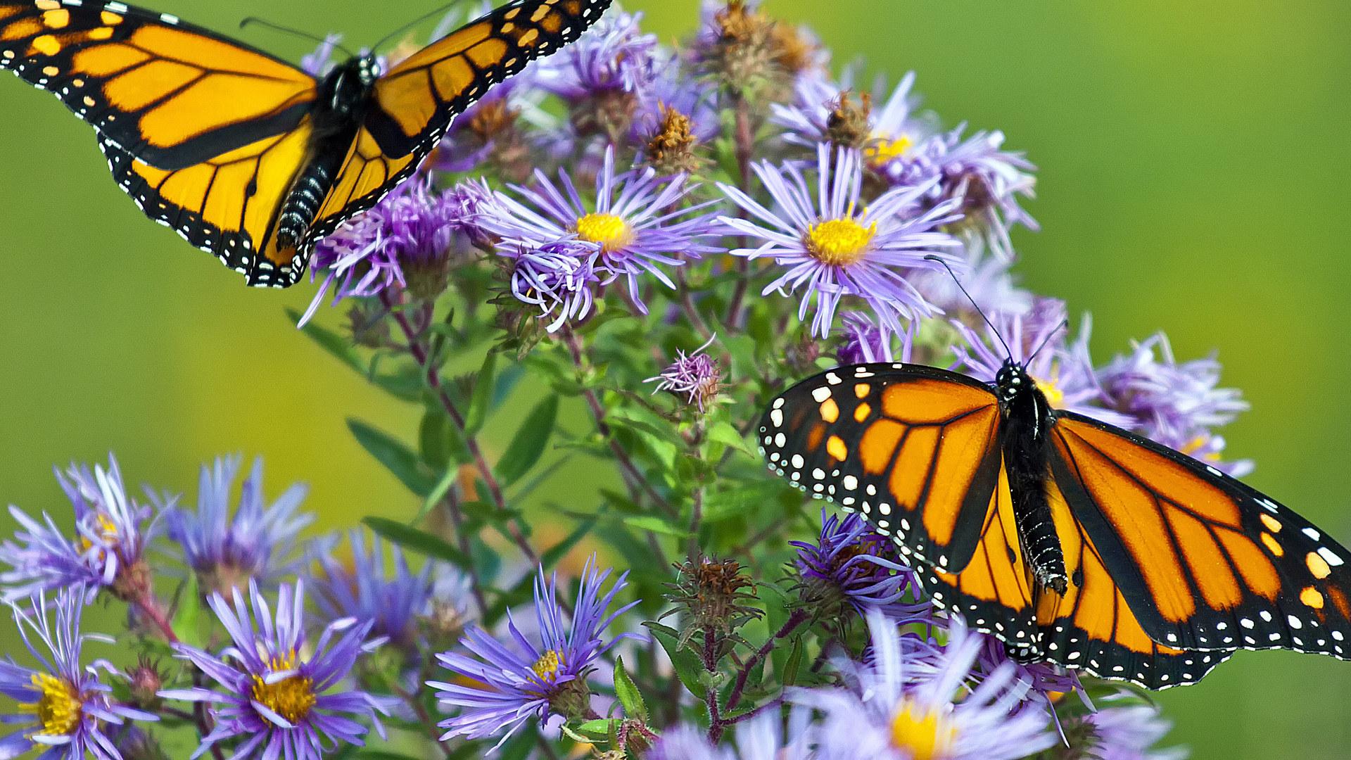Скачать бесплатно обои бабочки на рабочий стол   подборка (22)