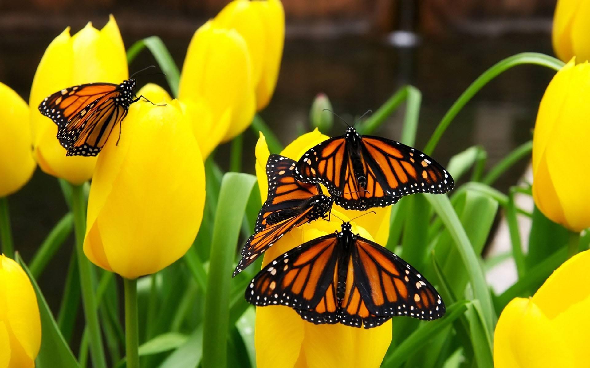Скачать бесплатно обои бабочки на рабочий стол   подборка (26)