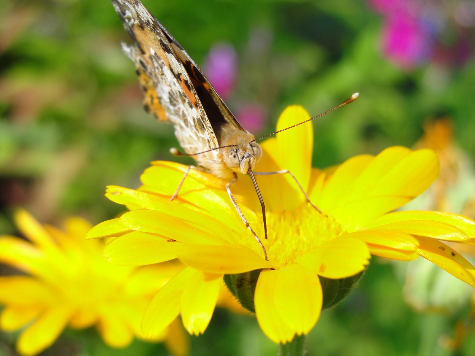 Скачать бесплатно обои бабочки на рабочий стол   подборка (29)