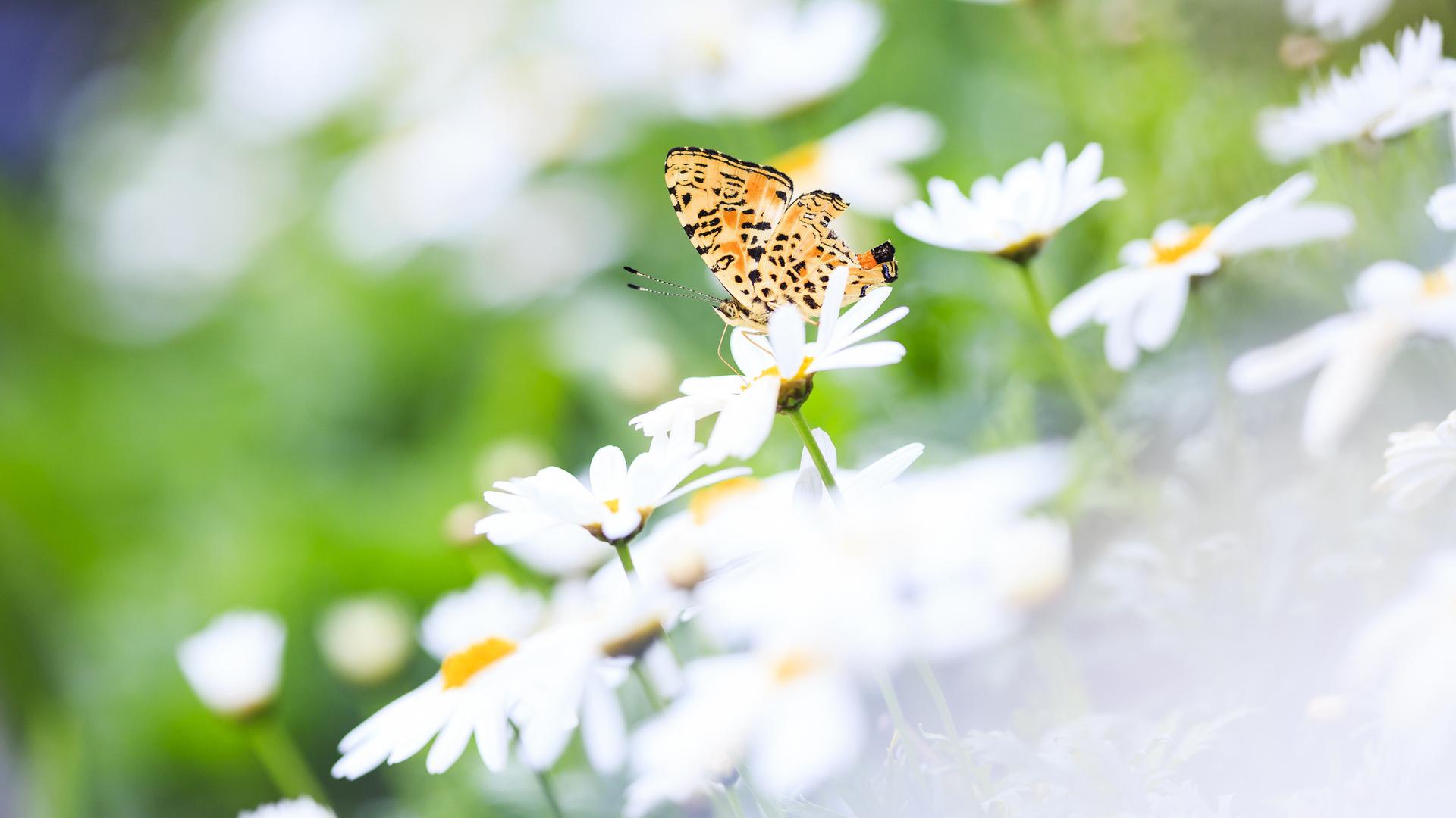 Скачать бесплатно обои бабочки на рабочий стол   подборка (31)